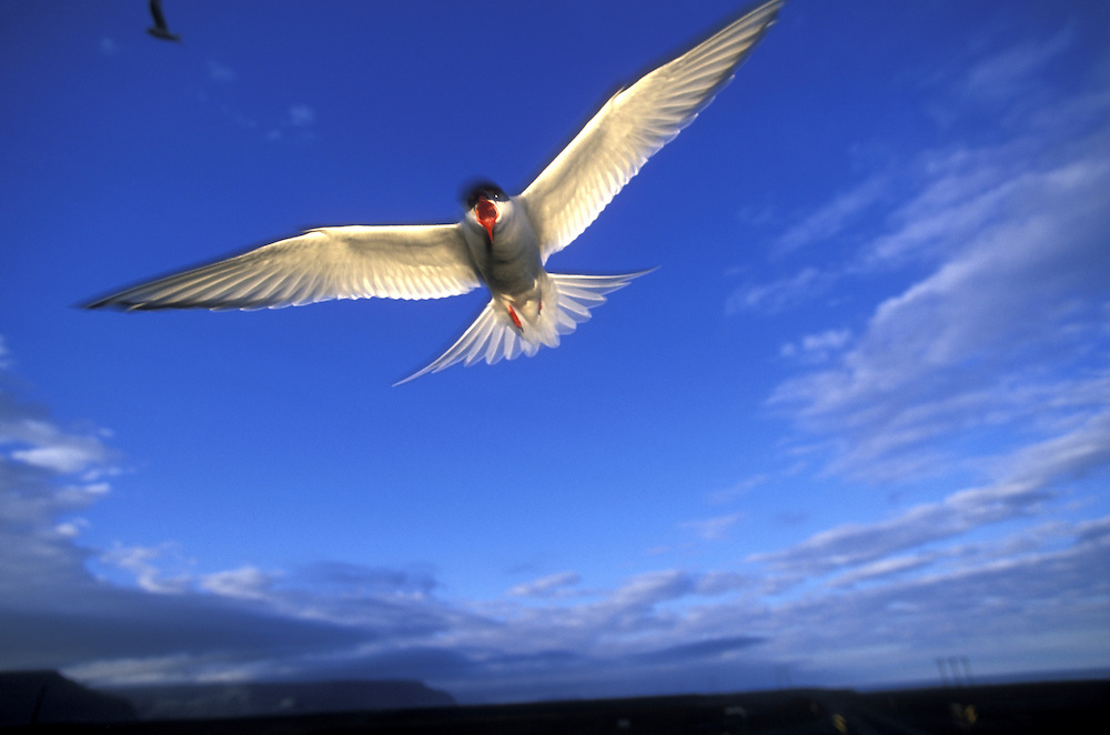 Europe, Iceland, Arctic Tern (Sterna paradisaea) dives while defending nest along Jökulsa River on southeast coast