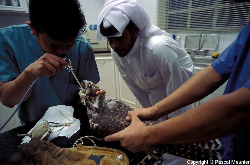QATAR. Doha. Clinic for falcons...Before the opening of the private clinic for falcons seven years ago, Qataris had to go to Dubai. Today, it welcomes 30 to 40 customers a day. Falcon hunting is a Bedouin tradition and is still widely practised.