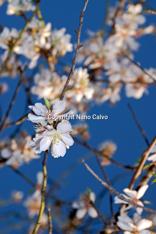 Almond trees flowers in bloom, Santa Eulalia, Ibiza
