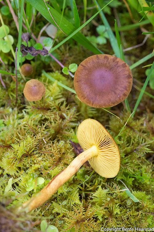 Kanelsl&oslash;rsopp, underslekt av sl&oslash;rsopp som er inng&aring;ende studert i Norden. Sm&aring; arter med t&oslash;rr hatt og gule, gr&oslash;nnaktige, oransje eller r&oslash;de skiver eller hatter, inneholder gode ullfargestoffer. <br /> Omfatter blant annet:  vanlig kanelsl&oslash;rsopp, Cortinarius cinnamomeus,     sennepsl&oslash;rsopp, C. croceus,    r&oslash;dskivekanelsl&oslash;rsopp, C. semisanguineus.
