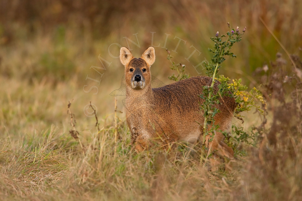 Chinese Deer Species Chinese Water Deer Hydropotes