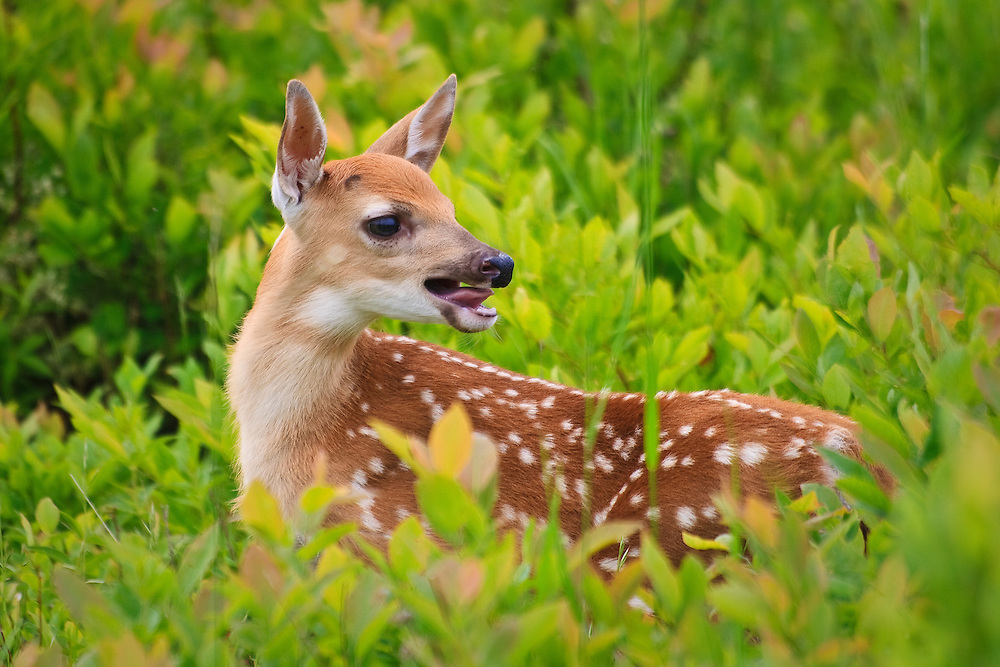 a Young White Tailed Deer Fawn