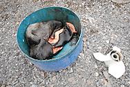 Dead seal fur and skin. Coastal Inuit community of Arctic Bay. Lancaster Sound. HIgh Arctic. Baffin Island.<br />