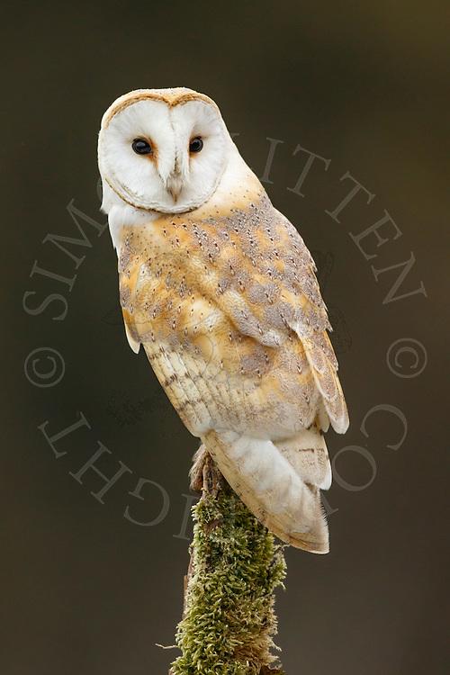Barn Owl (Tyto Alba) adult perched on post, Norfolk, UK.