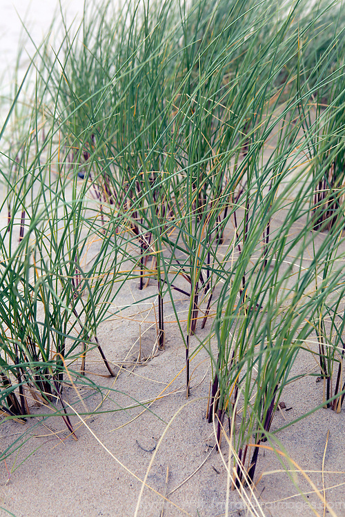 Europe, Ireland, Brittas Bay. Dune Grass.
