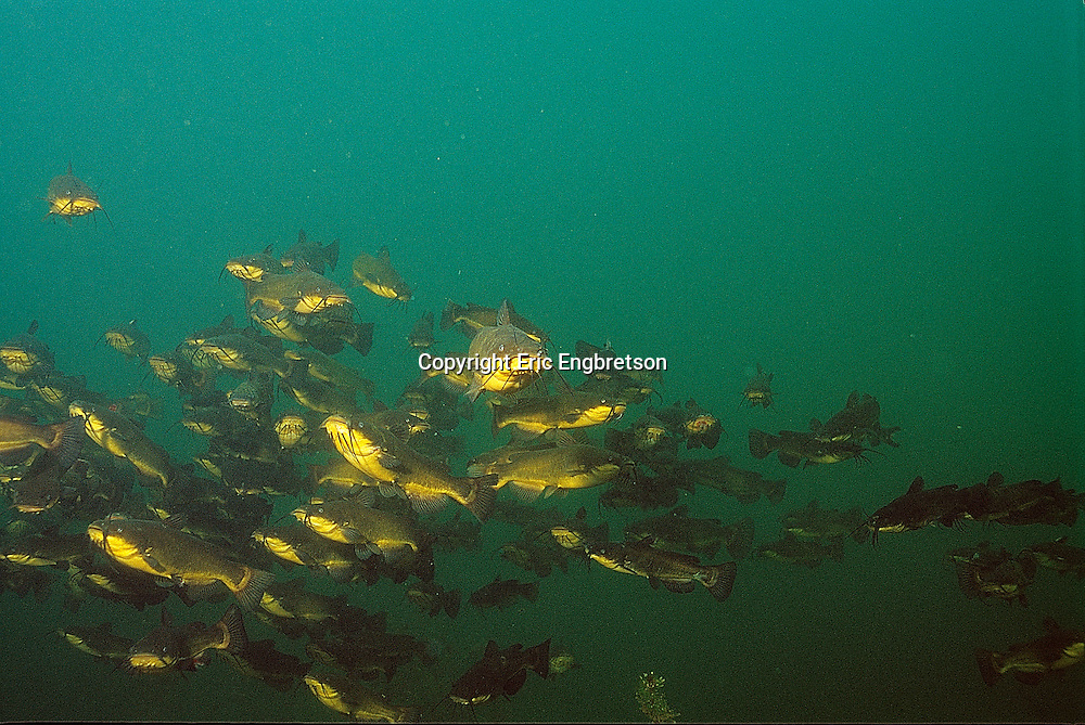 Black Bullhead school<br /> <br /> ENGBRETSON UNDERWATER PHOTO