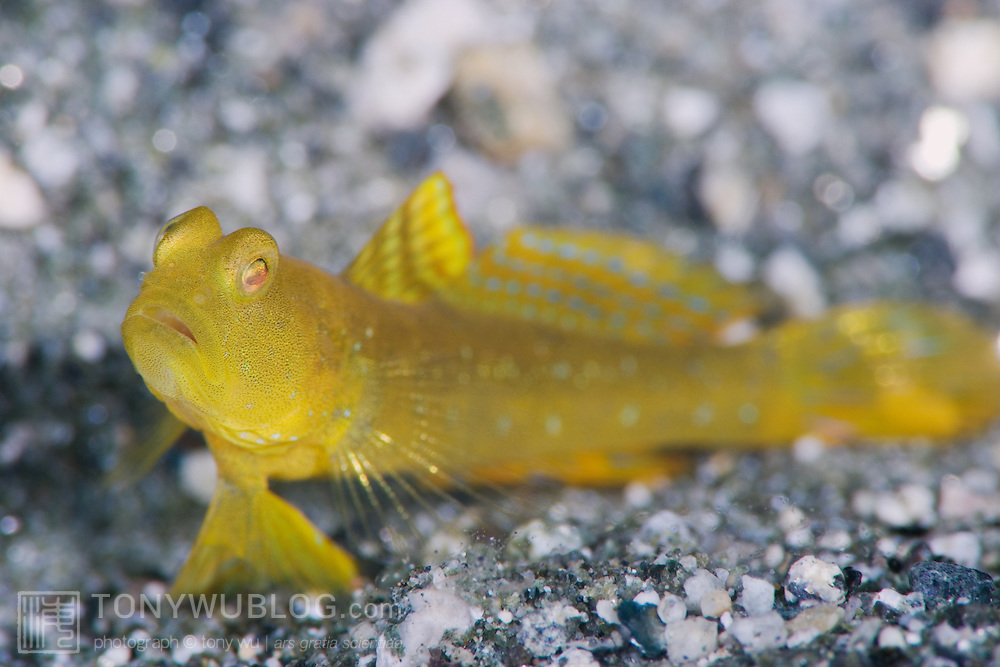 Yellow shrimp goby sitting on a volcanic sand bottom in shallow water ...
