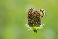 Central bumble bee (Bombus centralis), male, Fairy Lake, Bozeman Montana
