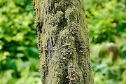 SHOT 5/30/13 12:51:45 PM - A moss covered tree trunk near Latourell Falls along the Columbia River Gorge in Oregon, within Guy W. Talbot State Park. The Historic Columbia River Highway passes nearby, and at certain locations the Lower falls are visible from the road. Near the base of the falls, a parking lot and path were erected to assist visitors to the site. Visitors must hike along the 2.1-mile (3.4 km) loop trail to see the upper falls. Latourell is unique among the best-known Columbia Gorge waterfalls, in the way that it drops straight down from an overhanging basalt cliff. Most of those falls (even the famous Multnomah Falls) tumble to some degree. (Photo by Marc Piscotty / © 2013)
