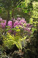 France, Languedoc Roussillon, Gard, Cevennes, Anduze, Generargues, Prafrance, La Bambouseraie, azalée, rhododendron japonicum