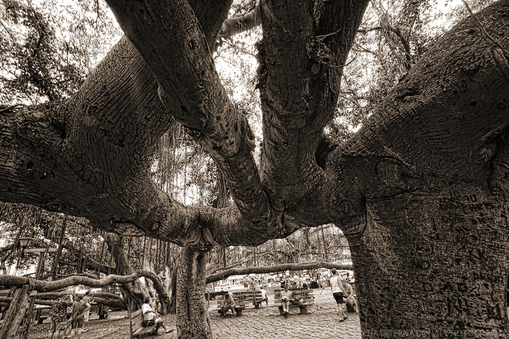 Banyan Tree, Courthouse Square, Lahaina, Maui