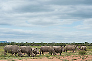 White rhinoceros (Ceratotherium simum)<br /> Marataba, A section of the National Park, <br /> SOUTH AFRICA<br /> RANGE: Southern &amp; East Africa<br /> ENDANGERED SPECIES