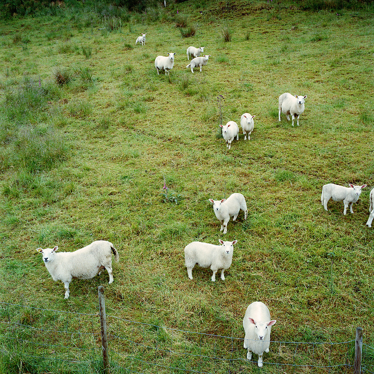 Sheep at England, Norway. ..Photo by Knut Egil Wang /MOMENT