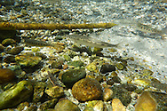 Mountain Whitefish (juvenile)with rainbow trout<br /> <br /> Todd Pearsons/Engbretson Underwater Photography