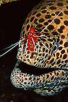 Cleaner shrimp, Lysmata debelius, on the nose of a laced moray eel (Gymnothorax favagineus), Bali, Indonesia