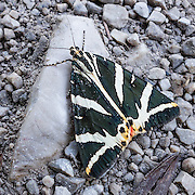 The Jersey Tiger, Euplagia quadripunctaria, is a day-flying moth of the family Arctiidae (in the order Lepidoptera). Euplagia quadripunctaria has a zebra-like black and white pattern and is widely distributed in Europe from Estonia and Latvia in the north to the Mediterranean coast and islands in the south, plus West Russia, South Urals, Asia Minor, Rhodes and nearby islands, the Near East, Caucasus, South Turkmenistan, and Iran (Dubatolov, 2010). Photo is from Plitvice Lakes National Park (Nacionalni park Plitvicka jezera, in Croatia, Europe), which was founded in 1949 and is honored by UNESCO as World Heritage Site.