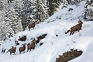 Guided by the largest and most mature ram, five bighorns make their way through the snow into the Shoshone National Forest where they will spend the winter.