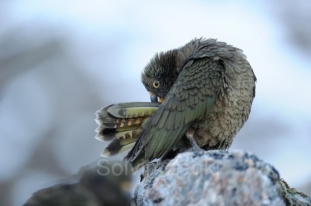 Kea (Nestor notabilis) Arthur's Pass, New Zealand   Kea oder Bergpapagei (Nestor notabilis) - Gefiederpflege ist besonders wichtig um die Federn immer wasserabweisend zu halten. Arthur's Pass, Neuseeländische Alpen, Neuseeland.