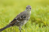 A Espanola (Hood) Mockingbird (Mimus macdonaldi), also known as the Hood Mockingbird, in the grass.