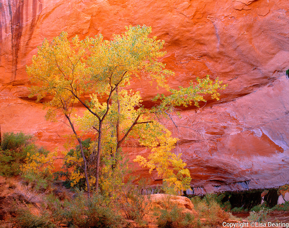 Cottonwood Trees in Fall Color, Coyote Gulch, Escalante National Monument, Utah