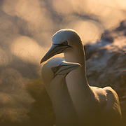 A pair of nothern gannets (Sula bassana) basking in the morning sunlight on Bempton Cliffs in Yorkshire, UK.