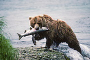 Alaska, Brooks Falls, Katmai National Park. Young hungry bear emerging out of river with the day's catch.