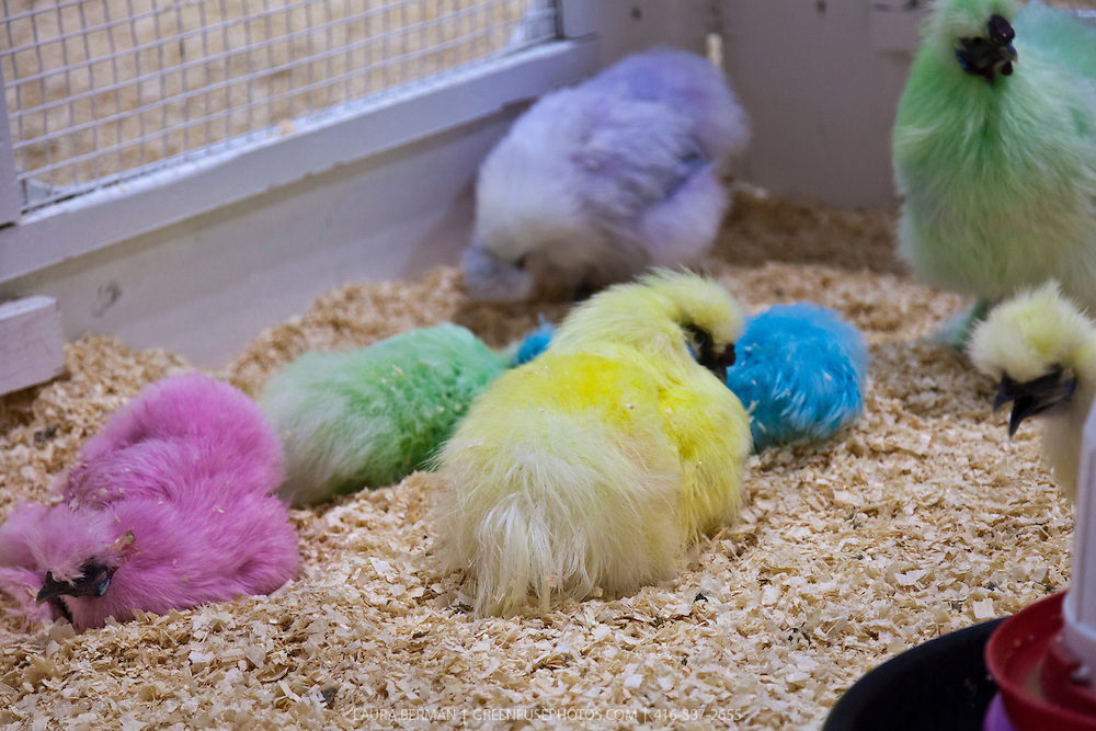 Garishly dyed Silkie chicks in pink, purple, green, yellow and blue at the Royal Agricultural Winter Fair.