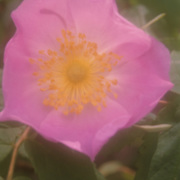 Symbol of Alberta Province, the wild rose is found everywhere in summer in Banff National Park, Alberta, Canada.