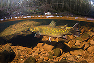 Brook Trout <br />