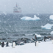 """In a snow flurry on an Antarctic island, Gentoo penguins (Pygoscelis papua) waddle to the ocean to retrieve food for chicks. Offshore, a cruise ship anchors amid icebergs. An adult Gentoo Penguin has a bright orange-red bill and a wide white stripe extending across the top of its head. Chicks have grey backs with white fronts. Of all penguins, Gentoos have the most prominent tail, which sweeps from side to side as they waddle on land, hence the scientific name Pygoscelis, """"rump-tailed."""" As the the third largest species of penguin, adult Gentoos reach 51 to 90 cm (20-36 in) high. They are the fastest underwater swimming penguin, reaching speeds of 36 km per hour."""