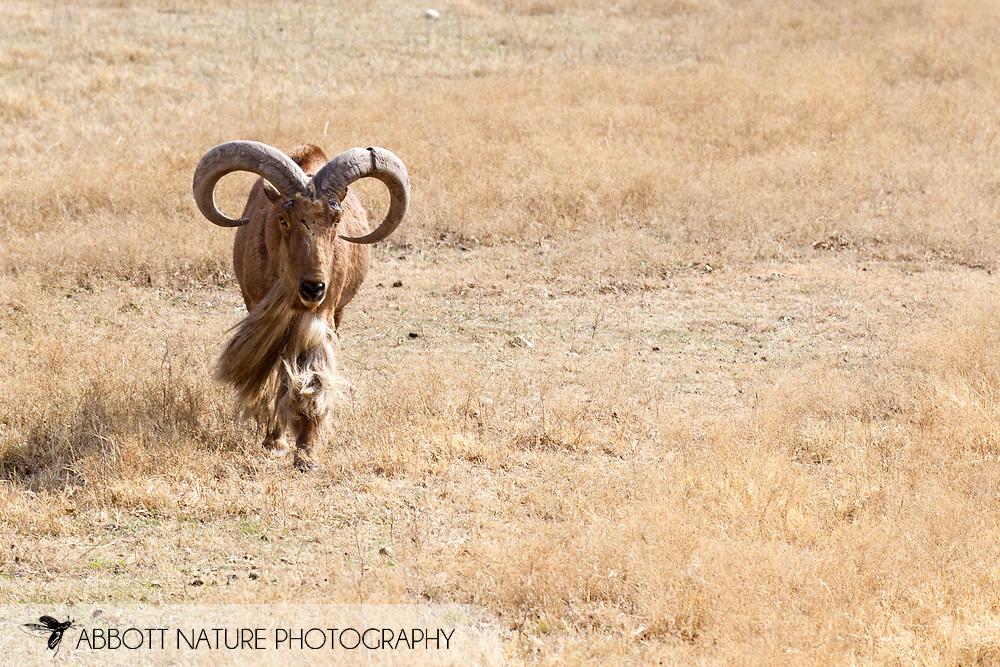 Aoudad (Ammatragus lervia)<br /> TEXAS: Somervell Co.<br /> Fossil Rim Wildlife Center<br /> J.C. Abbott &amp; K.K. Abbott