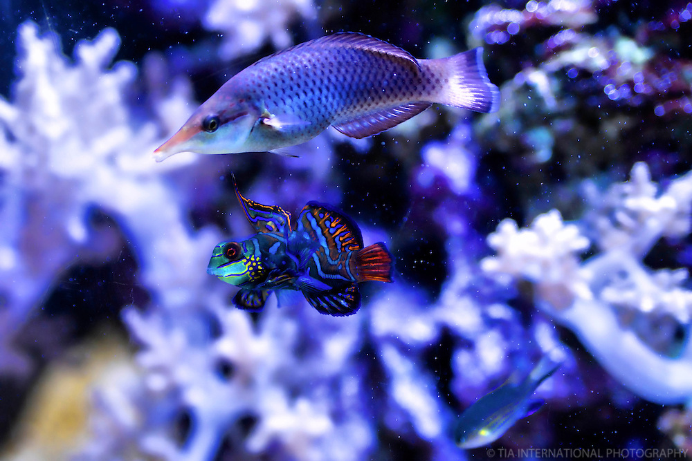 Mandarin Dragonette (center)