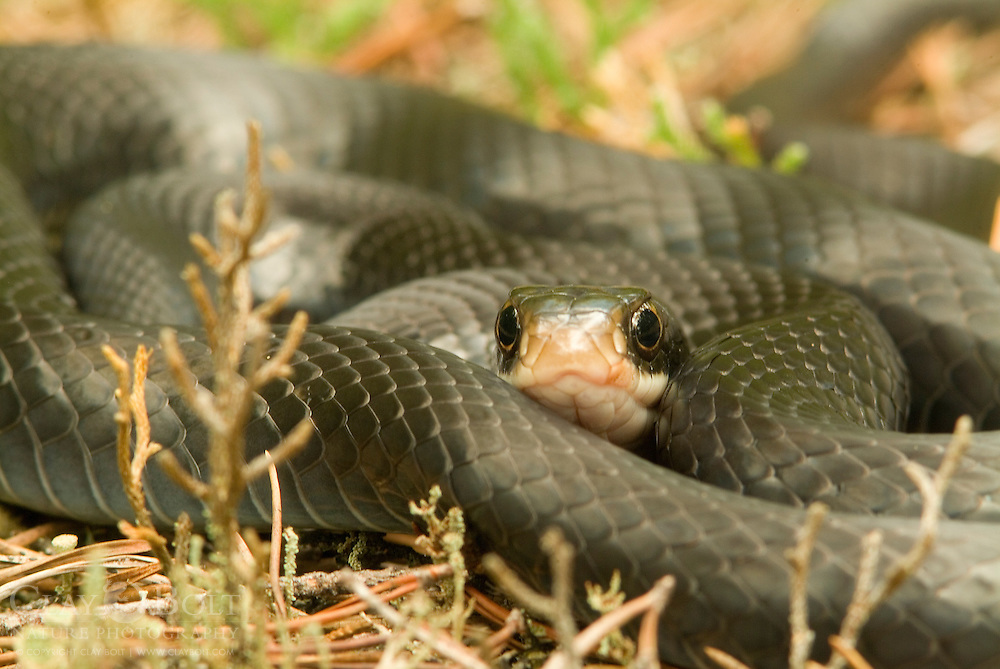 Northern Black Racer,  ( Coluber constrictor constrictor ) are known for their blinding speed. They are diurnal predators, hunting during the day for rodents, reptiles and eggs. They are non-venomous but will often bite if handled.