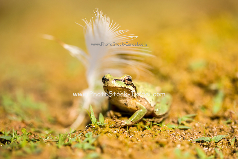 European tree frog (Hyla arborea) near water Photographed in Israel in September
