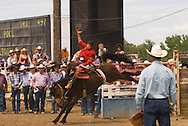 Saddle bronc rider bucked off at Miles City Bucking Horse Sale, Miles City Montana,  <br /> MODEL RELEASED RIDER ONLY