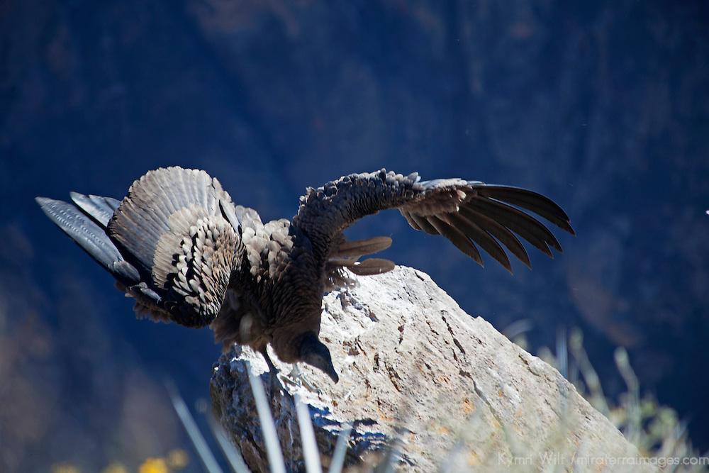 South America, Peru, Colca Canyon. Jeuvenile Andean Condor.