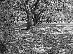 Oak Trees within Herman Memorial Park Houston, Texas.