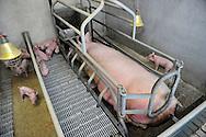 25/06/14 - BADAILHAC - CANTAL - FRANCE - Elevage de porcs de croisement large white et duroc. Salle de maternite - Photo Jerome CHABANNE