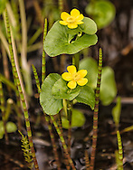 Marsh Marigold (Caltha palustris) among Horsetail (Equisetum arvense) shoots in marsh at Alaganik Slough on the Copper River Delta near Cordova in Southcentral Alaska. Spring. Afternoon.