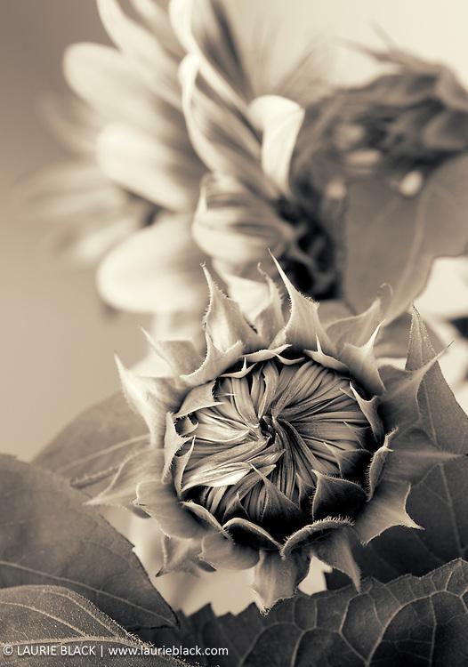 B&W fine art photograph of Sunflower
