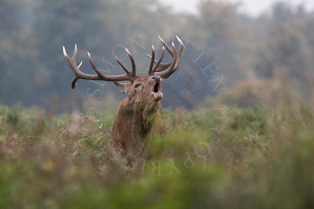 Red Deer (Cervus elaphus) stag roaring during rutting season, amongst bracken at dawn