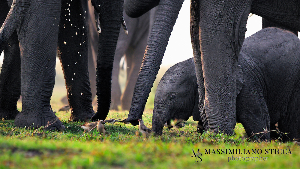The African bush elephant or African savanna elephant (Loxodonta africana) is the larger of the two species of African elephant. Both it and the African forest elephant have usually been classified as a single species, known simply as the African elephant, but recent evidence has seen the forest elephant classified as a distinct species. Some authorities still consider the currently available evidence as insufficient for splitting African elephants into two species.
