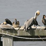 Preening Gray Pelicans and Cormorants sunning themselves on a dock on Jekyll Island Georgia.
