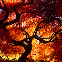 Japanese Maple tree in Connecticut.<br /> <br /> Canvas gallery wrapped print is 18x24&quot;.