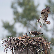 An osprey (Pandion haliaetus) delivers a fish to its family — its mate and two young chicks — waiting on its nest on a piling in the Snohomish River in Everett, Washington.