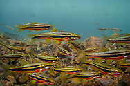 Southern Redbelly Dace<br /> <br /> Isaac Szabo/Engbretson Underwater Photography