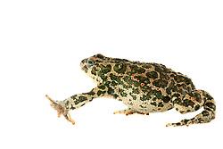 [captive] Green toads (Bufo viridis), Lake Coghinas (Italian: Lago di Coghinas) is an artificial lake, in northern Sardinia, Italy   Die Wechselkröte oder auch Grüne Kröte genannt (Bufo viridis, syn. Epidalea viridis) wurde von dem englisch-italienischen Forscherteam auf Sardinien gefangen. Diese Tiere werden 8 bis 10 cm groß.