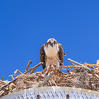 An Osprey (Pandion haliaetus) eats a piece of fish in its nest in the Flamingo section of Everglades National Park, Florida.<br />