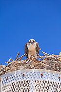An Osprey (Pandion haliaetus) eats a piece of fish in its nest in the Flamingo section of Everglades National Park, Florida.<br /> WATERMARKS WILL NOT APPEAR ON PRINTS OR LICENSED IMAGES.