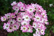 """Shrub Rose """"Ballerina"""" flowers"""